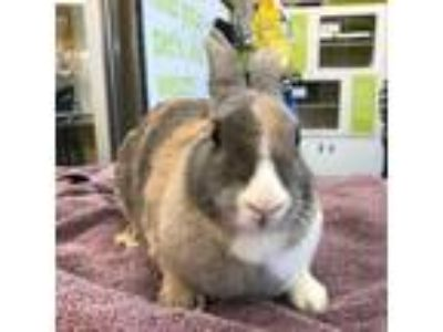 Adopt Grace a Multi Harlequin / Mixed (short coat) rabbit in Los Angeles
