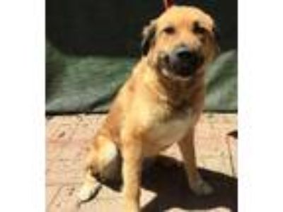 Adopt Kara a Anatolian Shepherd / Mixed Breed (Medium) / Mixed dog in Lemoore