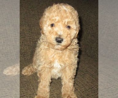 Labradoodle PUPPY FOR SALE ADN-130024 - Toy Multi generational male Labradoodle