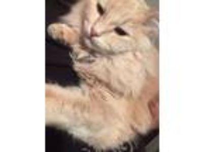 Adopt Mac a Cream or Ivory Cymric / Mixed cat in El Paso, TX (24534006)