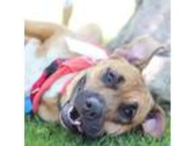 Adopt Joyce a Boxer / Shepherd (Unknown Type) / Mixed dog in San Diego