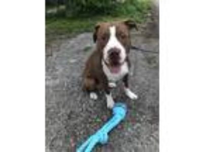 Adopt Zeke a Red/Golden/Orange/Chestnut - with White American Pit Bull Terrier