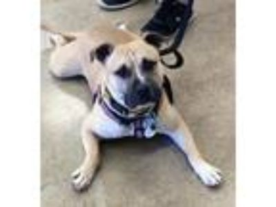 Adopt Zoomer a American Staffordshire Terrier, Bull Terrier