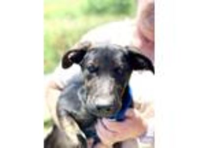 Adopt Ivy a German Shepherd Dog, Labrador Retriever
