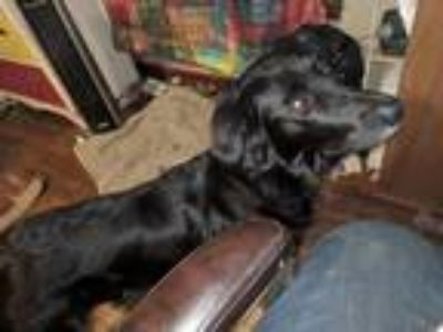 Adopt Sheba a Black Flat-Coated Retriever / Mixed dog in Denison, TX (21178224)
