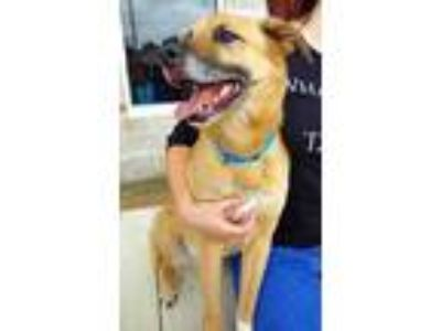 Adopt Marley a Tan/Yellow/Fawn Shepherd (Unknown Type) / Mixed dog in