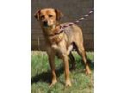 Adopt Foxy a Shepherd (Unknown Type) / Mixed dog in Little Rock, AR (25621261)