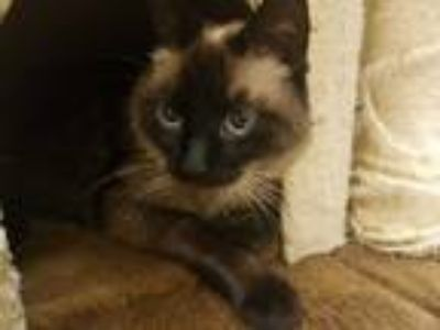 Adopt Baby a Black (Mostly) Siamese (short coat) cat in Lewisville