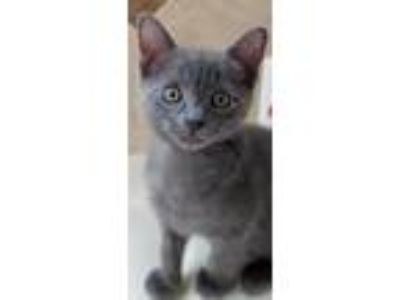Adopt Willow a Gray or Blue Russian Blue / Mixed (short coat) cat in Lighthouse