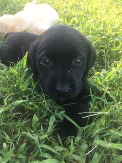 Labrador Retriever PUPPY FOR SALE ADN-96718 - AKC Registered Lab Puppies
