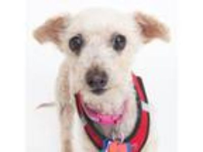 Adopt Piper a Poodle, Mixed Breed