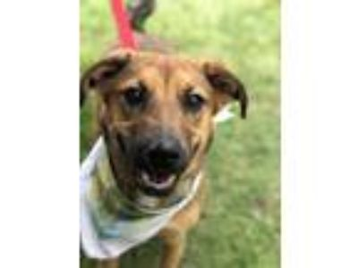 Adopt Luna a Labrador Retriever, German Shepherd Dog