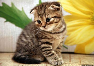 ^C Longhair Scottish Fold Cat Breed/ kittens For Sale