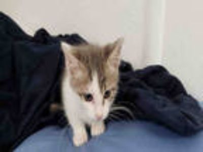 Adopt JALAPENO a White (Mostly) Domestic Shorthair / Mixed (short coat) cat in