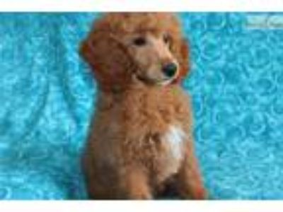 Ch. Bred Red Moyen Pup With A Sunny Personality!