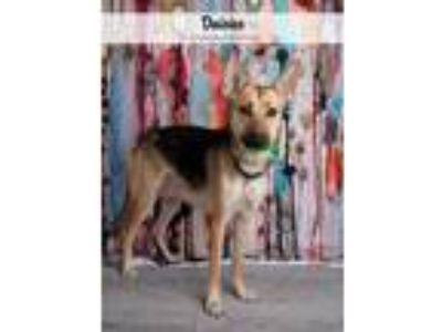 Adopt Daisies a Tan/Yellow/Fawn - with Black German Shepherd Dog dog in Denver