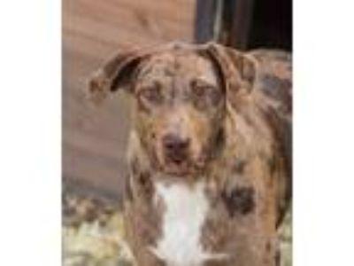 Adopt George a Catahoula Leopard Dog