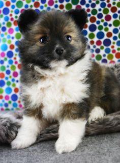 Yorkie Pom Puppies