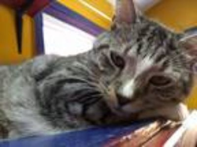 Adopt Dingo a Domestic Short Hair, Tabby