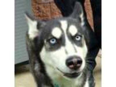 Adopt Aurora a White Husky / Mixed dog in Valley View, OH (25326706)