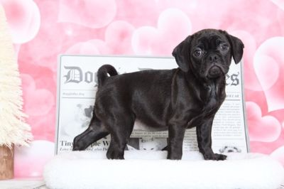 Puggle PUPPY FOR SALE ADN-70532 - Diamond Beautiful Puggle Puppy