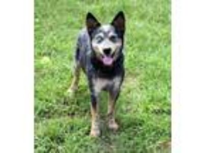 Adopt 42021448 - Available 6/27 a Cattle Dog
