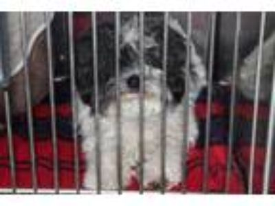 Adopt Osito a White Poodle (Miniature) / Mixed dog in Palm Springs