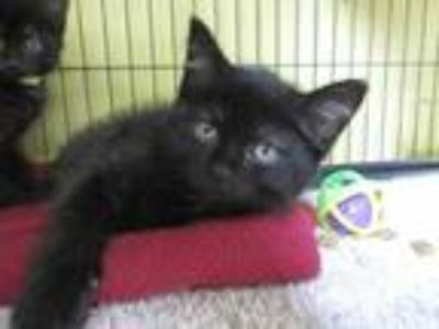 Adopt Chanel a All Black Domestic Shorthair / Domestic Shorthair / Mixed cat in