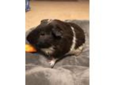 Adopt Toffee a Brown or Chocolate Guinea Pig (short coat) small animal in