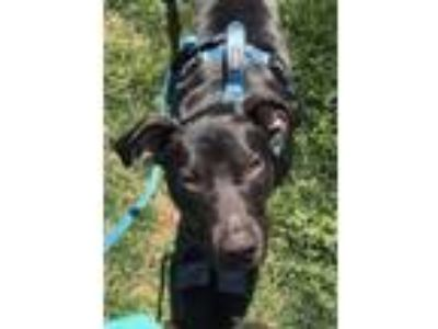Adopt Maverick a Black Labrador Retriever, Pit Bull Terrier