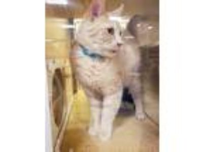 Adopt Gouda a Domestic Short Hair