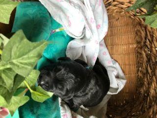 Saint Berdoodle PUPPY FOR SALE ADN-87656 - St Berdoodle Puppies