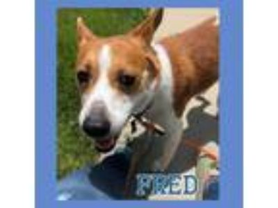 Adopt Foster Needed - Fred a Corgi