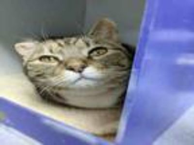 Adopt TESSA a Domestic Short Hair