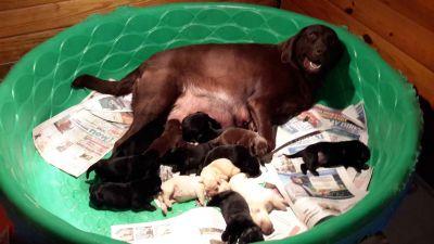 Labrador Retriever Puppies- HOT ROD X ROXY 10/2/18
