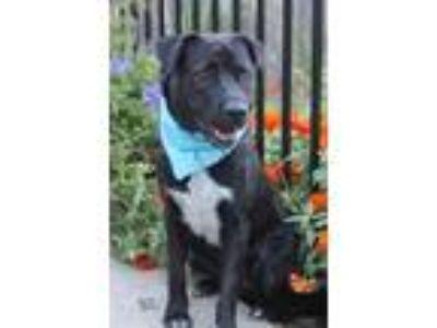Adopt Katrina a Black - with White Corgi / Mixed dog in Yukon, OK (14286556)