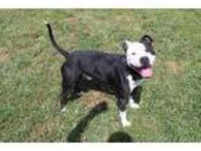 Adopt SPOTS a Black - with White American Pit Bull Terrier / Mixed dog in