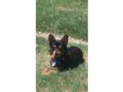 Adopt Ziggy V35 a Black - with Tan, Yellow or Fawn Corgi / Dachshund dog in