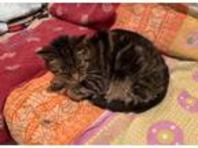 Adopt Dinuba a Gray, Blue or Silver Tabby Domestic Shorthair cat in Niantic
