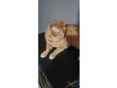 Adopt Gary a Orange or Red American Shorthair cat in Jonesboro, GA (25837497)