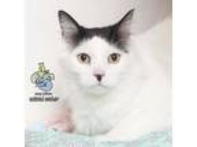 Adopt Lennox a White Domestic Longhair cat in Knoxville, TN (25904481)
