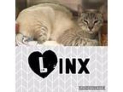Adopt Linx a Cream or Ivory Domestic Shorthair / Domestic Shorthair / Mixed cat