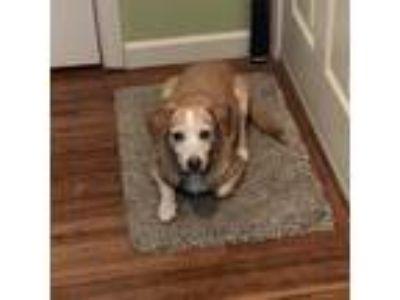 Adopt Rebel a White - with Tan, Yellow or Fawn Beagle / Dachshund dog in Santa