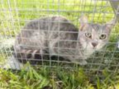 Adopt Feral 1500 block Pecos st a Gray or Blue Domestic Shorthair / Domestic