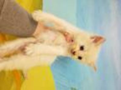 Adopt WIESS a White Domestic Longhair / Mixed (long coat) cat in Conroe