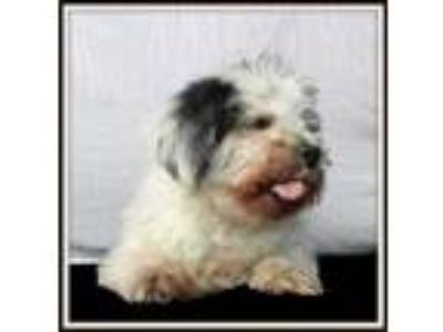 Adopt Angel a White Shih Tzu / Mixed dog in Brooklyn, NY (23209661)