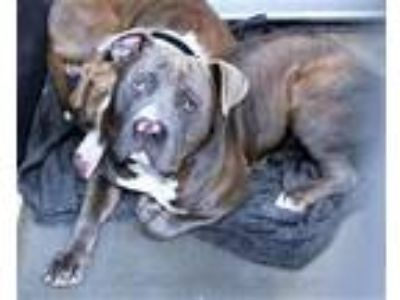 Adopt Hs230764 a Pit Bull Terrier