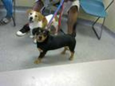 Adopt a Black - with Tan, Yellow or Fawn Beagle / Mixed dog in Louisville