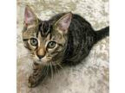 Adopt Alfalfa a Domestic Shorthair / Mixed (short coat) cat in Clinton