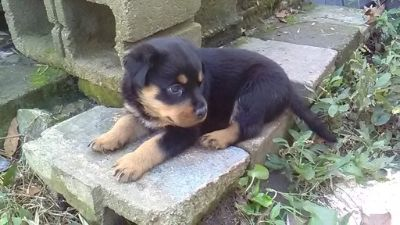 Rottweiler PUPPY FOR SALE ADN-99317 - Halloween AKC German Bloodline Rottweiler Puppy039s